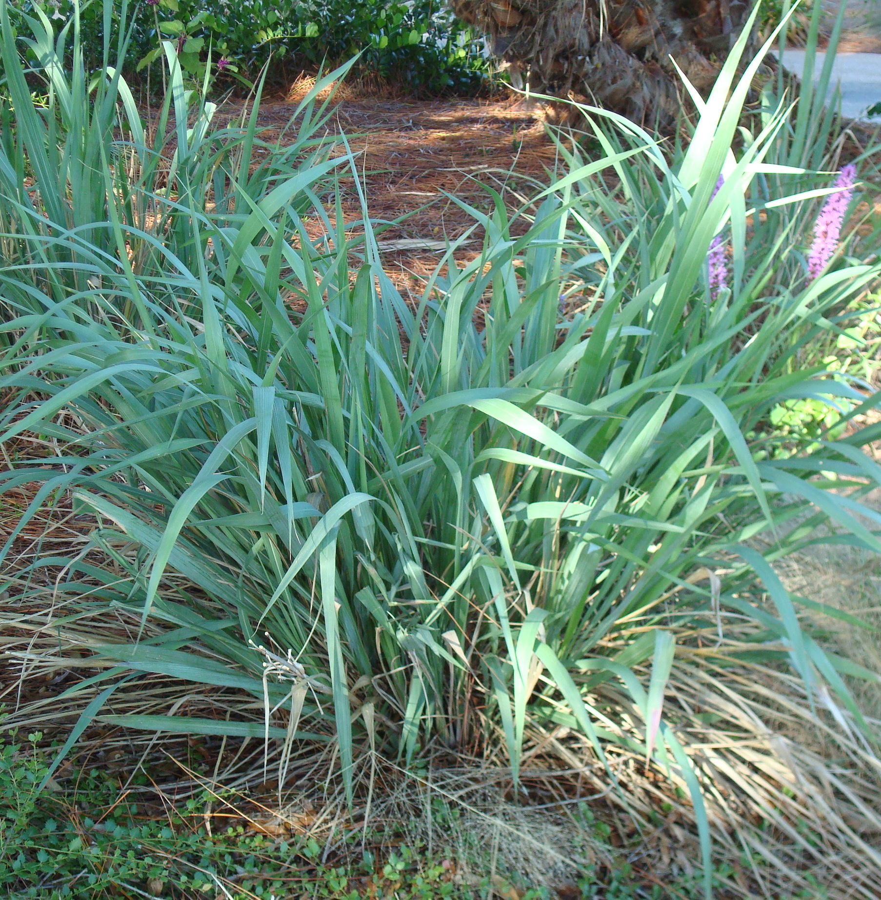 Planting Guide For Fakahatchee Grass