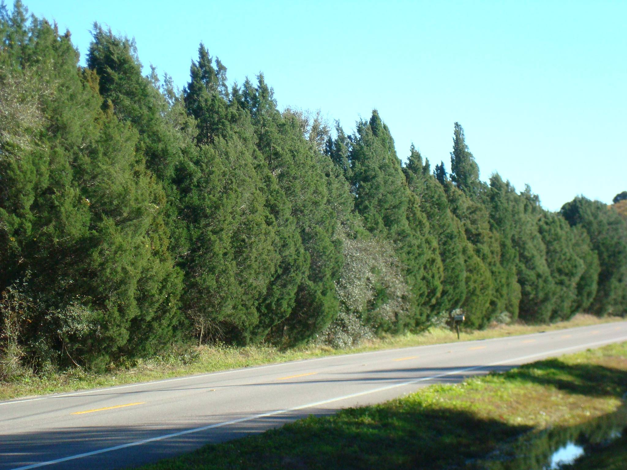 Southern Red Cedar ~ Southern red cedar for sale largo and st petersburg
