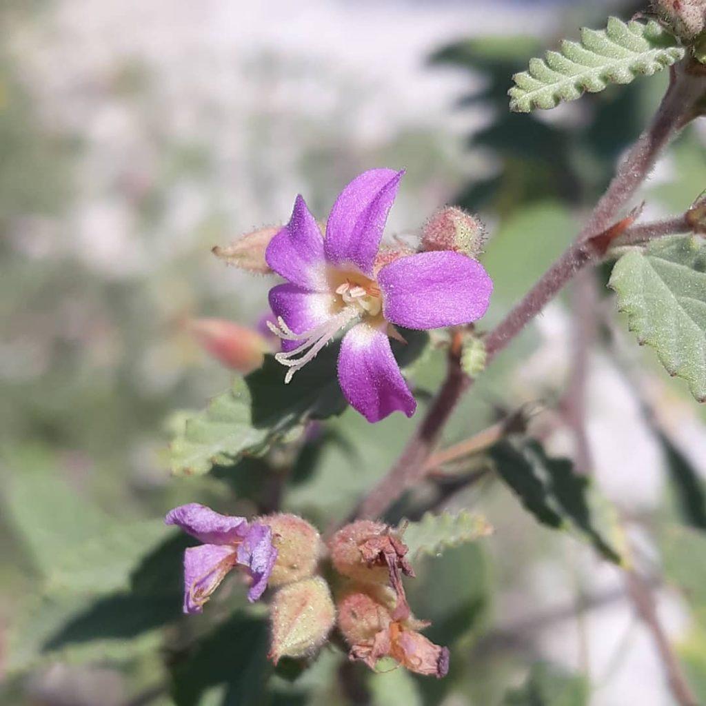 Grayleaf shrub blooming