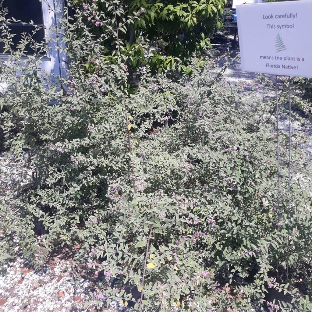 grayleaf shrubs at a distance